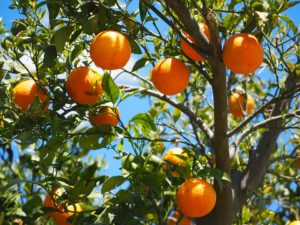 Апельсиновое дерево