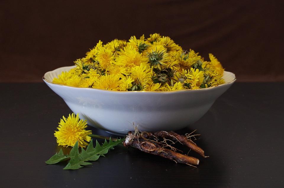 Полезные свойства и противопоказания корня одуванчика