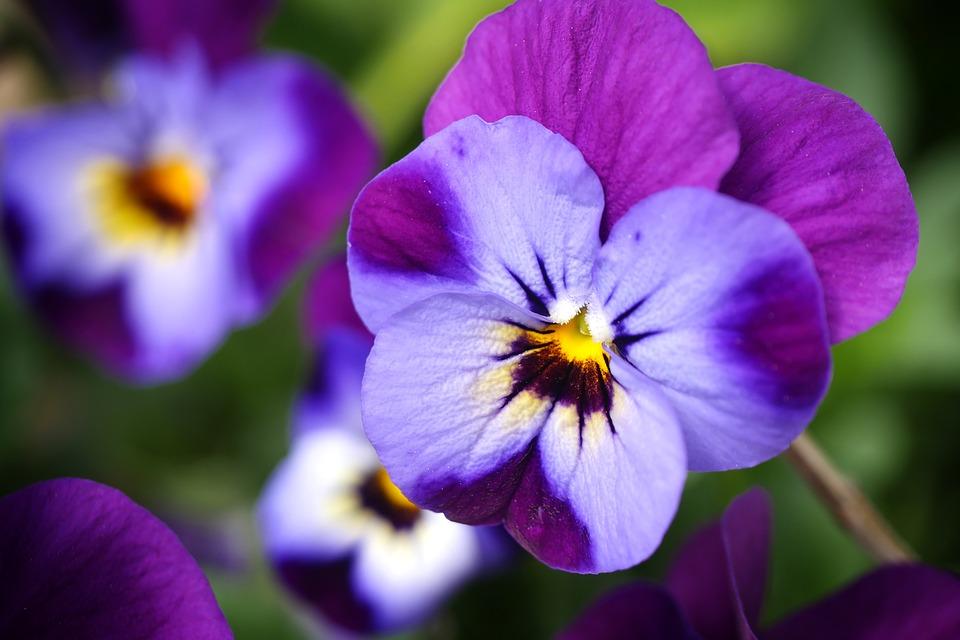 съедобные цветы анютины глазки