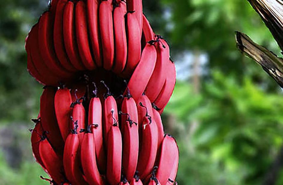 Красные бананы отличие от желтых