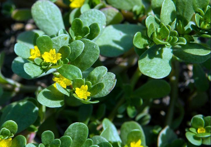Портулак огородный - полезные свойства для здоровья